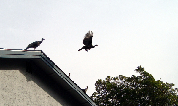 Turkeys on the roof