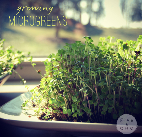 Growing Microgreens by Five & One