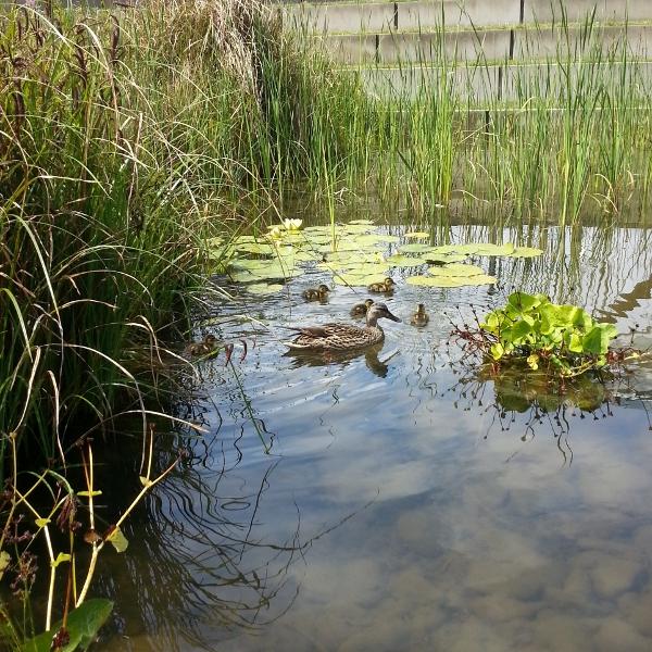 Ducks at Tanner Springs Park